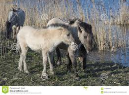 wild horses running through water. Exellent Through Wild Horses Near The Water Inside Horses Running Through Water R