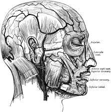 arteries of the face facial arteries clipart etc