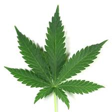 Image result for cannabis sativa oil