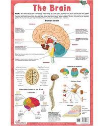 Brain Chart Brain Laminated Primary Chart English