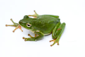 image of a frog. Simple Frog Throughout Image Of A Frog R