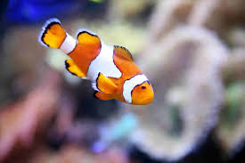 different colored clown fish. Delighful Clown Different Colored Clown Fish Anemones Bleach Clownfish Sufferrhphysorgjpg And R