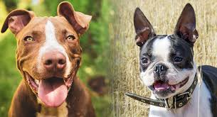 Our staffordshire bull terrier puppies are carefully selected and are bred by reputable breeders, who live up to our high standards. Boston Terrier Pitbull Mix Is This Cross Right For You