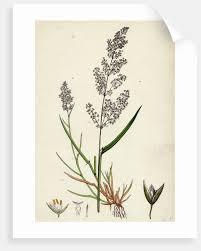 agrostis alba var genuina marsh bent gr var a by anonymous