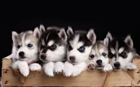 cute baby husky wallpaper. Contemporary Husky HD Wallpaper  Background Image ID681643 For Cute Baby Husky