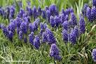 Images & Illustrations of common grape hyacinth