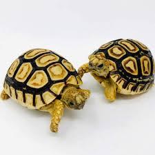 Leopard Tortoise Size Chart Baby Leopard Tortoise Care Sheet Diet Lifespan Habitat