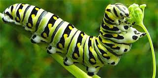 Image result for caterpillar has 248 muscles