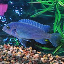 Tropical Fish For Freshwater Aquariums Cobalt Blue Zebra
