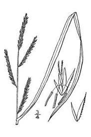 Plants Profile for Spartina maritima (small cordgrass)
