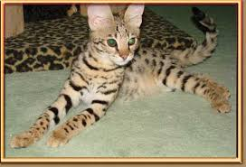 f1 male savannah kitten exle of kittens we have had in the pas