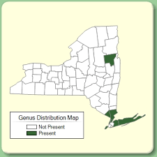 Diospyros - Genus Page - NYFA: New York Flora Atlas - NYFA: New ...