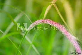 grass blade close up. Tall And Healthy Grass In A Tranquil Field. Macro Close-up Shot With Purple Blade Close Up