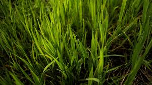 How To Identify Northern Virginia Grass Types