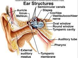 oval window inner ear inner ear oval window oval window inner ear ear anatomy oval window