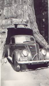 a car drives through the chandelier drive thru tree in leggett california in 1941