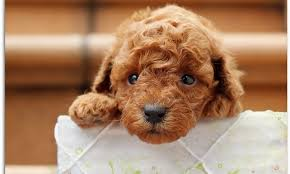 yorkiepoo morkiepoo maltipoo morkie puppies