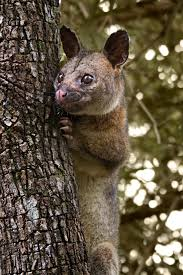 Image result for wikimedia commons possum