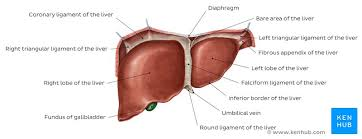 Liver Anatomy Liver And Gallbladder Anatomy Location And Functions Kenhub
