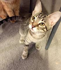 Veronica and Valene were found as kittens living on the streets. They were  placed in a foster ...read more about Valene