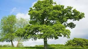 Oak Tree Size Chart English Oak Quercus Robur British Trees Woodland Trust