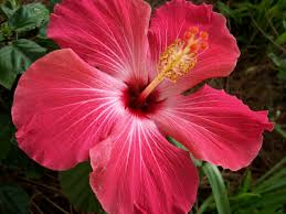 hibiscus flowers 06 21 15 hibiscus flowers flowers image galleries