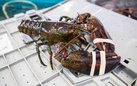 Selecting Live Maine Lobster