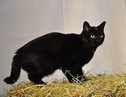 black cats with gold eyes. Delighful Gold Cat Facts On Black Cats With Gold Eyes