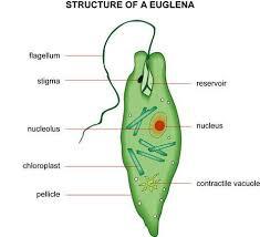 biology  samples  euglena diagram