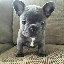 cute blue french bulldog puppies. Blue French Bulldog Puppy Intended Cute Puppies