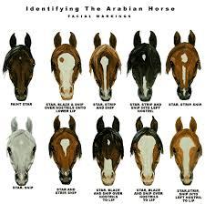 Identifying Arabian Horse Markings Horse Breeds Horses