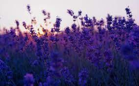 lavender flowers | Tumblr