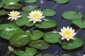 Closeup White Lotus Flower In The Lake ...