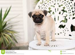 cute baby white pugs. Beautiful Pugs Cute Pug Puppy On White Chair In Baby White Pugs Y