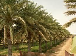 """Résultat de recherche d'images pour """"rangée de palmiers"""""""