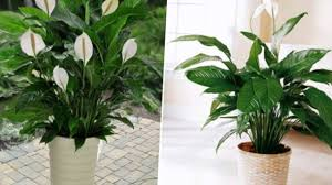 10 Popular Indoor Houseplants that Purify Air - YouTube