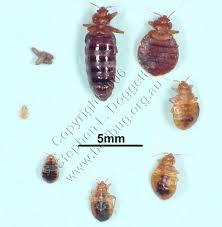 Small Brown Beetle In Bedroom Similiar Small Bed Bugs Keywords
