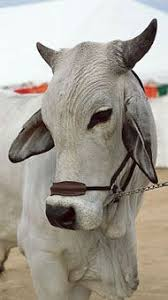 A brahman cow will eat 2.5% of her body weight in dry matter ration per day. 400 Brahmans Ideas Brahman Cattle Animals