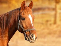 professional horse face photography. Simple Photography Horse Brown Animal Portrait On Professional Horse Face Photography O