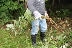 killing blackberry bushes permanently. Removing Blackberries Without Herbicides On Killing Blackberry Bushes Permanently