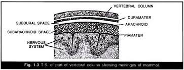 essay on human brain structure and function t s of part of vertebral column showing meninges of mammal