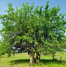 History In Your Garden Mulberry Tree  Soil Type Fast Growing Mulberry Tree No Fruit