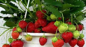 Image result for Diet strawberry for weight loss images