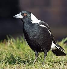 Australian magpie - Wikipedia