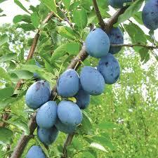 107 Best Fruit Trees Images On Pinterest  Fruit Trees Online Plum Tree Not Producing Fruit