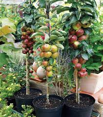 Best 25 Dwarf Fruit Trees Ideas On Pinterest  Growing Vegetables Hybrid Fruit Trees For Sale