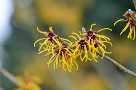growing witch hazel how to care for
