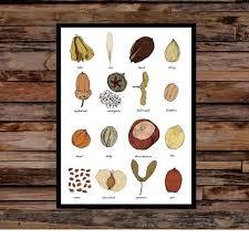 Nut Identification Chart Seeds Identification Print Wall Art Chart Carpology Seed Art Print Unframed