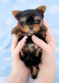 cute yorkie puppies for sale.  Yorkie Beautiful Micro Teacup Yorkie Puppies For Sale Cute E