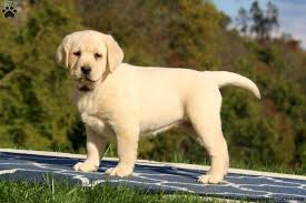 hayley 1500 00 gap pa retriever yellow puppy